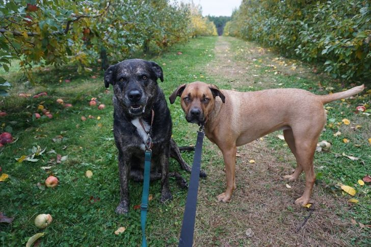 Shadow and Wilma apple picking